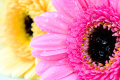 Mixed daisy flowers. In different colors royalty free stock photos