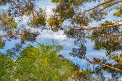 Mixed deciduous-coniferous forest. Bottom view of tall old trees in mixed deciduous-coniferous forest with birches and pines, Eastern Europe, Ukraine. Bright Stock Photography