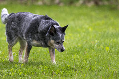 Mixed Dog. A Picture of a Dog searching the grass Royalty Free Stock Images