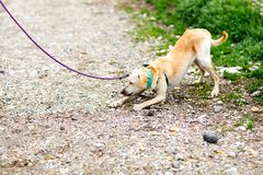 Mixed dog refusing to walk royalty free stock image