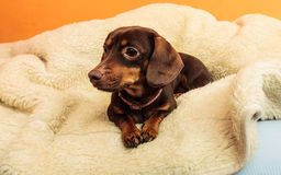 Mixed dog relaxing on bed at home Royalty Free Stock Photography