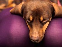 Mixed dog relaxing on human legs Stock Photos