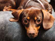 Mixed dog relaxing on human legs Royalty Free Stock Images