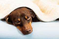 Mixed dog sleeping on bed at home Royalty Free Stock Photo