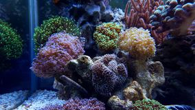 Mixed Euphyllia lps corals on rock Royalty Free Stock Photography