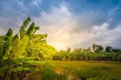 Mixed farming by planting banana trees in rice fields is agricultural system in which a farmer conducts different agricultural pr stock image