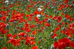 Poppy field with red and pink poppies Royalty Free Stock Photos