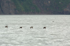 Mixed flock of Uria and Tufted puffin are flying with fish in its beak. Royalty Free Stock Photos