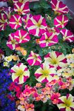 Mixed flowerpot with petunias, nemesia and lobelia. Mixed planted flowerpot with striped petunias, nemesia and lobelia plants Royalty Free Stock Photo