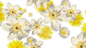 Mixed flowers falling down on white background. Blank white at the beginning and at the end. Narcissus, dandelions, primrose and daisy. White and yellow stock footage