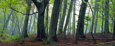 Mixed forest. (beech, hornbeam and oak ) in a misty day, autumn, Saarland / Germany. Stitched Royalty Free Stock Image