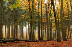 Mixed forest in autumn. Mixed deciduous and coniferous forest in autumn with fog Stock Photo