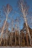 Mixed forest birch pine snow Stock Image