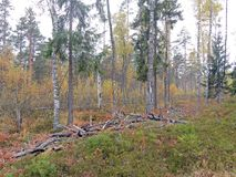 Mixed forest. Bright colors of late autumn. Birch spruce pine. Shrubs. Mosses. Herbs stock photo