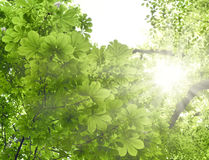 Mixed forest with chestnut tree and beech tree in the sun stock images