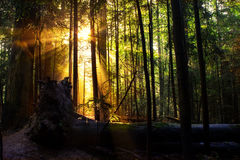 Mixed Forest in the Morning Light Royalty Free Stock Images