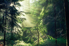 Mixed Forest in the Morning Light Royalty Free Stock Image