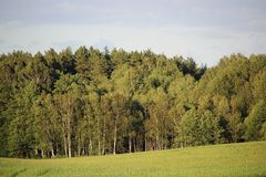 Mixed forest, mostly pine and birch, in a temperate climate zone, illuminated by sunlight. Photo stock images