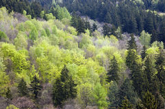 Mixed forest in spring Royalty Free Stock Images