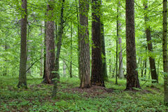 Mixed forest at springtime morning. With group of old trees in the middle Royalty Free Stock Photos