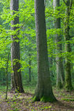 Mixed forest at summer dawn. Mixed natural forest at summer dawn stock photo