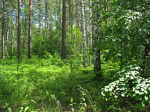 Mixed forest. Summer landscape Royalty Free Stock Photos