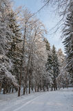 Mixed forest tall trees winter Royalty Free Stock Photography