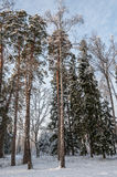 Mixed forest tall trees winter Stock Photos