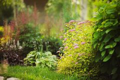 Mixed garden border with blooming spirea japonica Yellow Princess, Hydrangea Annabell, hostas and heucheras. In sunny summer day Stock Images
