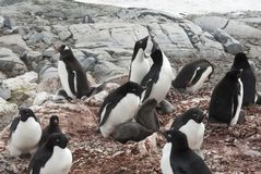 Mixed Gentoo Penguin and Adelie penguins colony on the Antarctic. Island during the nesting period royalty free stock photography