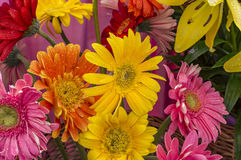Mixed gerbera flowers with water drops. Sprayed on them Royalty Free Stock Photography