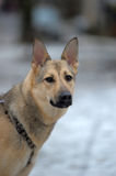 Mixed German Shepherd dog Royalty Free Stock Photography
