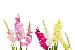 Mixed gladiolus flowers. On white background royalty free stock image
