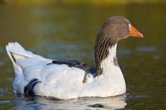 Mixed goose ( Grey - white) - Anser Anser. Goose floating on a water lake stock images