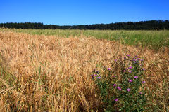 Mixed grain field with wildflower Stock Image