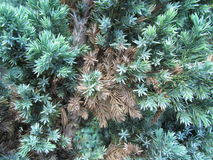 Mixed green and brown pine needles. Mixed old and fresh pine needles texture background Royalty Free Stock Photos