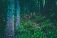 Mixed greenwood forest. Photo depicting dark misty evergreen pin. E tree backwoods. Summertime Stock Photo