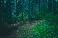 Mixed greenwood forest. Photo depicting dark misty evergreen pin. E tree backwoods. Summertime Royalty Free Stock Photos