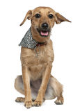 Mixed Griffon wearing handkerchief Royalty Free Stock Photos