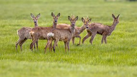 Mixed Group of Roe Deer in grassland environment Stock Image