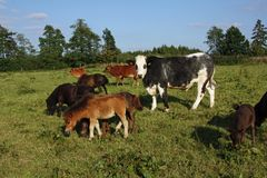 Mixed herd of cattle Royalty Free Stock Photography