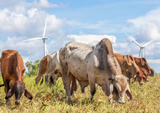A mixed herd of cattle with windmill farm on a bright sunny day Stock Photo