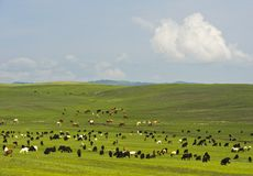 Goats and cattle grazing in the Mongolian steppe Royalty Free Stock Photography