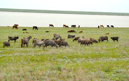 The mixed herd of goats and cows is grazed on the river bank Manych in the spring steppe. Kalmykia.  Stock Photos