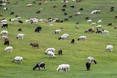 Mixed herd of sheep and Kashmir goats Royalty Free Stock Photos