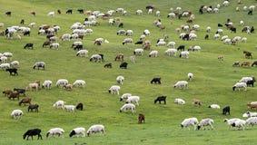 Mixed herd of sheep and Kashmir goats Stock Photos