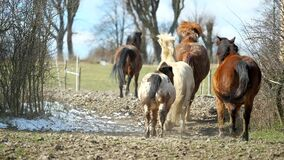 Mixed  horse herd with brown horses and white and mottled pony galloping through a narrow spot between the bushes. horses run