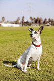 Mixed Jack Russel Portrait in the Park. A mixed Jack Russel sitting on the grass at an urban park Royalty Free Stock Photography