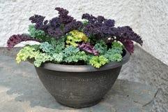 Mixed Kale Planter Bowl. Planter bowl with mixed Kale varieties Stock Photos