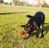 Labrador Fetching Dog Chew Toy at Park Stock Photos